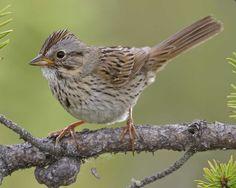 Lincoln's Sparrow..winter bird
