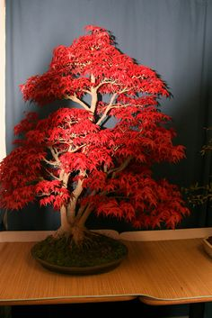 acer bonsai | Flickr - Photo Sharing!