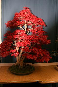 acer bonsai | Flickr - Photo Sharing!