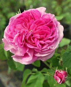 'Nestor' – Vibert (1834). Gallica. Zomerbloei.Gevulde magenta bloemen (7cm) – afhankelijk van het weer en de bodem met roze en/of paarse schakeringen. Weinig doornen. Lichtgroen loof. 120 cm x 90cm.