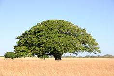 El arbol nacional de Costa Rica se llama Guanacaste (Enterolobium ...