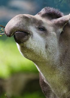 A tapir who is eating. Tapirs got both naps (see other post on this page) and food. If I were another animal, I would choose to be a tapir because tapirs are apparently an animal that gets naps and eats a lot every day.