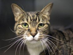 ADOPTED/RESCUED - TO BE DESTROYED 3/20/15 *NYC* SWEET KITTY! * Brooklyn Center * Precious was displaying good behavior, did not come to the front of the kennel but interacts with the Assessor. My name is PRECIOUS. My Animal ID # is A1029092. I am a female brn tabby and white dom sh mix. I am about 4 YEARS old. I came in as a STRAY on 02/28/2015
