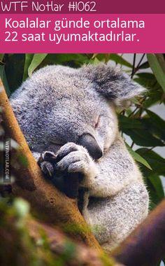 koalalar hakkında ilginç - Google'da Ara
