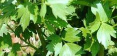 De ce nu se prinde leusteanul. Cateva sfaturi Home And Garden, Herbs, Plant, Lawn And Garden, Herb, Medicinal Plants