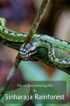 The UNESCO protected site of Sinharaja Rainforest is full of some amazing (and scary) wildlife Travel Around The World, Around The Worlds, Best Travel Guides, Sri Lanka, Trekking, Scary, Surfing, Wildlife, Africa