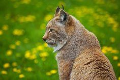 Northern Lynx by sparky2000, via Flickr