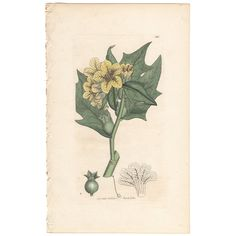 Sowerby antique 1799 hand-colored engraving, Pl 591 Common Henbane, botany  | eBay
