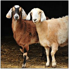 Anglo-Nubian Goats - large goats at 135-175lbs  social, outgoing & vocal.