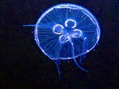 Aurelia Aurita-Moon Jellyfish at the Georgia Aquarium #Jellyfish