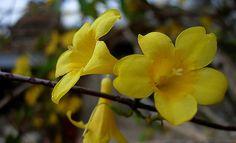 Gelsemium sempervirens, Carolina Jasmine, Woodbine, Yellow Jasmine - All parts of the plant are toxic.