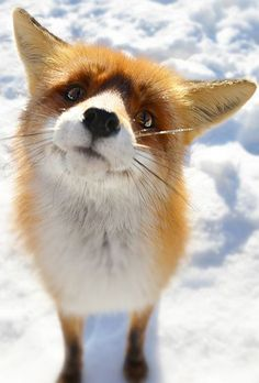 Christmas Winter Photography Pinterest Winter Foxes And Snow - 20 striking photographs that reveal the beauty of rare black foxes