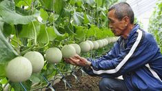 Farmer Masaomi Suzuki tends his crop. The musk melons are highly-prized; though they are originally from Central Asia, the sweet melons have become a popular gift in Japan. Some farmers have even managed to breed square melons.