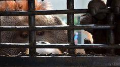 Abaixo-assinado · Governo do México: Transfiram os orangotangos do Zoológico de Chapultepec para o santuário de primatas no Brasil · Change.org