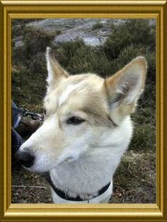 Holatoppen | LA5M second dog to one ham-operator but i dont remeber the callsign Nice dog second QTH  Summer-cabin  JO59LL Summer Cabins, Two Dogs, Best Dogs, Ham, Husky, Nice, Animals, Animales, Animaux