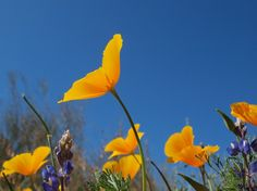 Az golden poppies