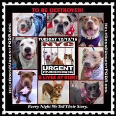 """8 BEAUTIFUL LIVES TO BE DESTROYED 12/13/16 @ NYC ACC **SO MANY GREAT DOGS HAVE BEEN KILLED: Puppies, Throw Away Mamas, Good Family Dogs. This is a HIGH KILL """"CARE CENTER"""" w/ POOR LIVING CONDITIONS. Please Share: To rescue a Death Row Dog, Please read this: http://information.urgentpodr.org/adoption-info-and-list-of-rescues/ /"""