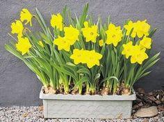 daffodilsbilde Gifts for Gardeners and Nongardeners Alike!