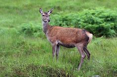 Red deer (Cervus elaphus) female are ruminants, characterized by a four-chambered stomach.