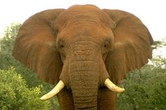The male elephant Changila, shortly before poachers killed him near the Samburu National Reserve in Kenya. Elephant World, Elephant Sketch, Elephant Facts, Asian Elephant, All About Animals, Animals Of The World, Elephant Pictures, Scientific American, Hunting
