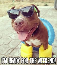 Pitbulls Lovers& photo: That& FBR& doggie Valentino! Funny Dogs, Funny Animals, Cute Animals, I Love Dogs, Puppy Love, Living Pool, Pitbulls, Pit Bull Love, Dog Memes