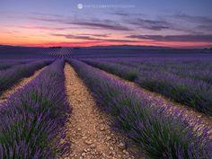 Lines of Lavender, Provence, France.