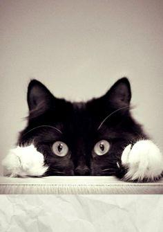 =^.^=   Paws, gato, Gato preto e branco, cat black and withe