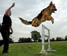 Houston Dog Trainers for off leash training. Justin Bailey, Texas Dog Training Expert. Off Leash K9 are dog training experts who train dogs to be themselves.