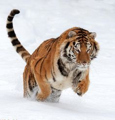 Tiger In Snow by Mike Dodak