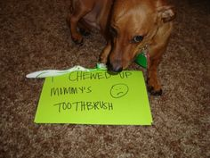 """""""I chewed up Mommies toothbrush."""" ~ Dog shaming Daschund 101 (Seriously... where did she leave it that baby could get to it?)"""