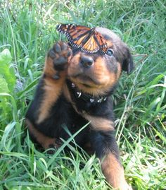 Rottweiler pup and a butterfly. Let's be friends