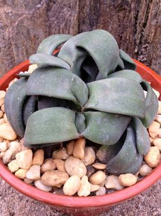 GASTERIA VLOKII. Rare plant from all arround the world!!!