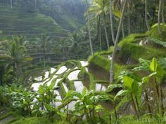 Rice Terraces--Bali