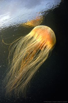 Very hairy jellyfish. Heyyyyyy, this looks better than some toupes I have seen. I'm going to start a new brand, called Jellyfish Toupes. Under The Water, Under The Ocean, Sea And Ocean, Beautiful Sea Creatures, Deep Sea Creatures, Underwater Creatures, Underwater Life, Fauna Marina, Life Aquatic