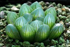 Haworthia obtusa yamada black - Flickr - Photo Sharing!