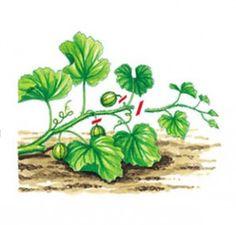 Taille du melon au potager - l'ABC du potager - Rustica éditions Plantation, Horticulture, Planters, Farm House, Pumpkin, Ideas, Gardens, How To Paint, Mediterranean Garden