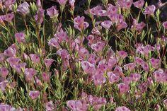 Clarkia williamsonii—Fort Miller clarkia. Regional Parks Botanic Garden Photo of the Day. 28 Jul 17