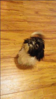 Shih Tzu Puppy For Sale In Mansfield Oh Adn 22518 On Puppyfinder Com Gender Male Age 6 Months Old Shih Tzu Puppy Puppies For Sale Shih Tzu