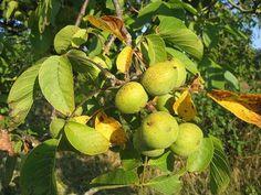 Грецкий орех: Посадка, выращивание и уход