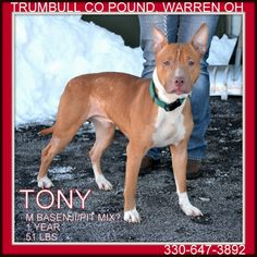 2 23 14 PLEASE RESCUE TONY...Very friendly guy!!!! WARREN, OHIO...Tony is an adorable dog.  Breed mix is a guess.  He is around 1 year old, and weighs 51 lbs.  Available 2.18.14.***Must be 18 years of age or older to adopt***