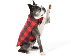 What a great buffalo check jacket for my Boston Terrier, Doak!