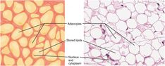 adipose tissue slide labeled - Google Search