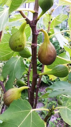 Vijg | Diana's mooie moestuin Veg Garden, Garden Plants, Indoor Plants, Home And Garden, Vegetable Gardening, Fig Fruit, Fruit Plants, Growing Vegetables, Fruits And Veggies