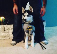 Who can deny that the Siberian Husky, with those incredible eyes and that remarkable coat, isn't one of the prettiest animals on Earth? Big Dog Halloween Costumes, Batman Costumes, Pet Costumes, Halloween Ideas, Halloween Party, Husky Costume, Girl Dog Names, Baby Huskies, Famous Dogs