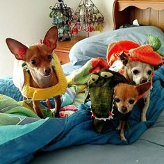 Halloween Came Early This Year (The Taco the Crocodile & the Pumpkin)  #otto #chipin #chihuahuasofinstagram #chihuahua #sundayfunday #bestfriend #cute #miniaturepinscher #minpin #instapuppy #instalove #instadog #instadaily #instaphoto #photooftheday #dogs_of_instagram #dog #dogoftheday #dogsofinstagram #puppy #puppiesofinstagram #ilovemydog #furbaby #smalldogs  Photo By: ottothechipin  http://bit.ly/teacupdogshq
