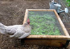DIY Chickens' Salad Bar 01....I don't have chickens but this should keep the ground squirrel and the local urban rabbits out of a micro greens bed