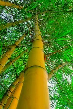Yellow Bamboo by sherrie Bamboo Species, Yellow Bamboo, Cactus Plante, Bamboo Architecture, Bamboo Tree, Bamboo Crafts, Unique Trees, Unusual Plants, Nature Tree