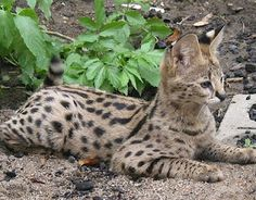 Beautiful African Serval Cat my favorite kitty cat ever! Crazy Cat Lady, Crazy Cats, Big Cats, Serval Pet, African Serval Cat, African Imports, Kinds Of Cats, Exotic Pets, Lions