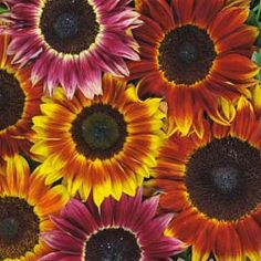 An exclusive bicoloured blend of richly coloured sunflowers including a very unusual rose pink shade.
