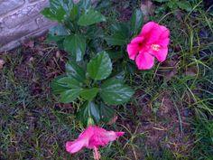 rosa china o hibiscus